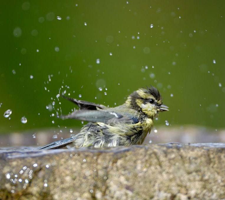 Fugl bader i dam fra overvann i hage